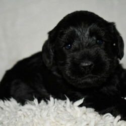 Yahoo/Schnoodle/Male/,Are you looking for the best puppy ever? Well, you found me! My name is Yahoo and I am the best! How do I know? Well, just look at me. Aren't I adorable? Also, I come up to date on my vaccinations and vet checked from head to tail, so not only am I cute, but healthy too! I promise to be on my best behavior when I'm with my new family. I listen carefully and I'm well socialized. I'm just a bundle of joy to have around. So, hurry and pick me to show off what an excellent puppy you have!