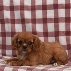 Sparky/Male /Male /Cavalier King Charles Spaniel Puppy