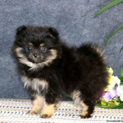 Cozy/Female /Female /Pomeranian Puppy