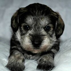Ismael/Schnoodle/Male/