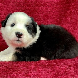 Patton/Male /Male /Miniature Australian Shepherd Puppy,Note from the breeder: