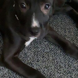 Adopt a dog:Atkins/Terrier/Female/Baby,APPLICANTS FARTHER THAN 45 MINUTES FROM DES MOINES WILL NOT BE ELIGIBLE FOR ADOPTION DUE TO THE VETTING REQUIREMENTS OF PUPPIES UNDER 4 MONTHS OF AGE. THERE WILL BE NO EXCEPTIONS TO THIS POLICY.  Atkins is a 13 week old 15 lb female Terrier mix. She will likely be around 45 lbs full grown. She is a little cautious of her surroundings. She's a shy girl but she is a lovable playful puppy at the same time. She is a total lapdog and loves to give kisses. She has done well with children and other pets in our home. She's a little shy to new dogs but will take time to adjust. She is working on potty training and basic commands and is picking up quickly! She's a little lover and such a fun personality  .  Litter Mates: Females: Aquabi, Anita, Atkins, Ambrose Males: Burns, Badger, Beeds, Banner  If you are interested in meeting Atkins, please complete an online application at https://hopeanimalrescueofiowa.duplie.com/forms/196/dog-application  Adoption fee is $300 which includes spay/neuter, microchip, and age appropriate vaccines.