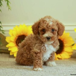 Annie/Female /Female /Bich-poo Puppy